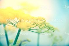 Wild Fennel Flowers in Nature. Foeniculum Vulgare, Great Backgrounds, Abstract Photos, Fennel, Flower Photos, Image Now, Natural Health, Royalty Free Stock Photos, Nature
