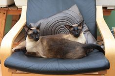 Along with different coat colors, Siamese cats have varying body types. A…