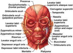 Facial Muscles #esthetician #education #face