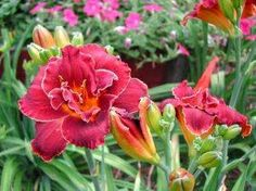 How+to+Care+for+Daylillies+