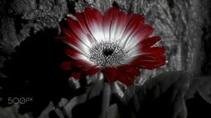B+W / Dramatica - blanco,negro y rojo