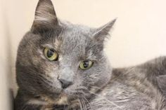 Petango.com – Meet Kitty, a 6 years Domestic Shorthair / Mix available for adoption in Hagerstown, MD