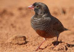 Quail Finch (Africa)