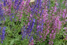 It's early June and the Salvia are already putting on a tremendous show
