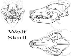 Ideas tattoo wolf skull werewolves for 2019 Animal Sketches, Animal Drawings, Drawing Sketches, Cool Drawings, Pencil Drawings, Head Anatomy, Anatomy Drawing, Anatomy Art, Skull Reference