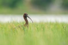 glossy ibis - null