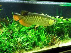 Aquaimago - Freshwater Aquarium Plants http://aquaimago.tumblr.com/post/137176954043/aquaimago-freshwater-aquarium-plants