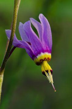 "purple wildflower--""Shooting Star"""