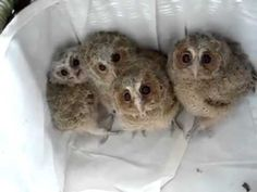 "Baby Owls! The ""I Don't Have to Tell You This is Cute"" Animal Video of the Day!!!"