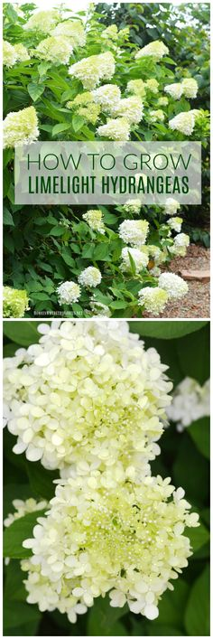 Public Service Annoucement: Plant a Limelight Hydrangea…or Five Plant this easy to grow, low maintenance shrub in your garden and enjoy beautiful cut and dried flowers too! Landscaping Shrubs, Hydrangea Landscaping, Garden Shrubs, Shade Garden, Garden Plants, Landscaping Software, Landscaping Ideas, Limelight Hydrangea, Hydrangea Care