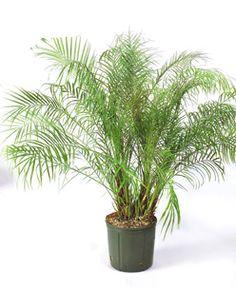 Phoenix roebelenii [Pygmy Date Palm, Dwarf Date Palm]