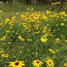 Crazy beautiful wildflowers at #mossmountainfarm. We will let these black eyed Susan's go to seed and there will be twice as many again next year! #sharethebounty #joy #wildflowers #easy