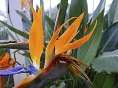 Bird Of Paradise As A Houseplant - Bird of paradise plants are a popular houseplant and for good reason. The blooms are bright, unusual and lovely. To ensure its success indoors, this article will provide tips on growing bird of paradise houseplants.