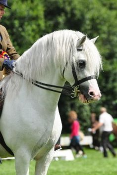 Now THIS is my idea of a Welsh Pony. From www.ponyweb.eu which sells pony show bridles and tack.