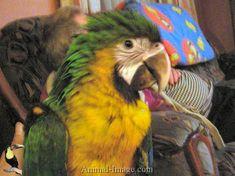 Miligold Macaw (hybrid) x Catalina Macaw (hybrid) = Milicat Macaws