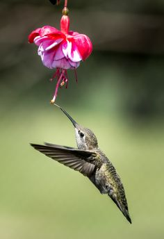 Anna's Hummingbird by Peter Dang on 500px