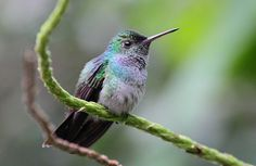 Blue-chested Hummingbird - Amazilia amabilis by jpmckenna - Recovering from North Coast Trail, via Flickr