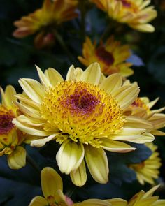Chrysanthemum x koreanum. The 2-3 foot tall perennial plants bloom late summer and early fall.