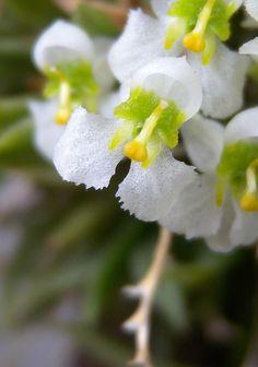 Zygostates alleniana/orchid miniatura