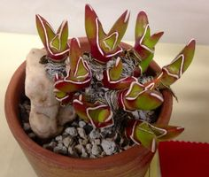 Glottiphyllum peersii.