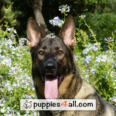 About German Shepherd Dogs provides up to date health and training information for your dog. Dog food recipes, dog training and free dog books to keep your furry friend healthy and happy Pastor Belga Malinois, Bad Dog Breath, Pregnant Dog, Easiest Dogs To Train, Dog Training Tips, Training Classes, Training Kit, Training Exercises, Brain Training