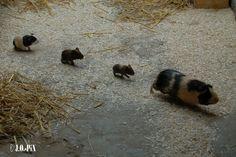 guinea pigs!!!
