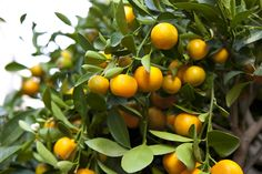 You can grow a clementine tree in your home and reap a decent crop of fruit. Fruit trees are a great decorative accent plant and also a plant everyone will notice. Citrus Trees, Fruit Trees, Trees To Plant, Fruit Fruit, Meyer Lemon Tree, Buy Plants Online, Trees Online, Tree Care, Container Plants