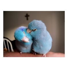 The Love we Share Pacific Blue Parrotlets Poster from Zazzle.com