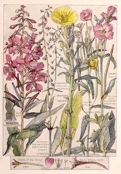 Evening Primrose - Wild Flower Botanical Print by Isabel Adams - Antique Print Vintage Botanical Prints, Botanical Drawings, Antique Prints, Botanical Art, Plant Illustration, Botanical Illustration, Merian, Plant Drawing, Evening Primrose