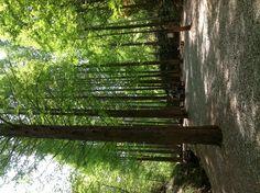 메타세콰이어 숲