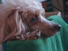toy poodle, chewie