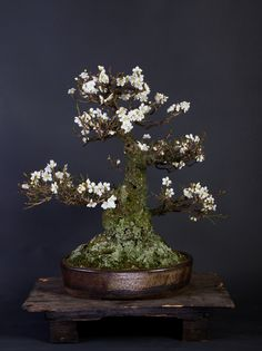 Zelkova Serrata | Collectie | Deshima Bonsai