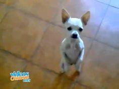 ▶ Chihuahua bailando flamenco - YouTube