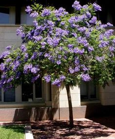 Jacaranda Tree In Bloom Mimosifolia Native To Tropical Regions This Deciduous