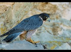 Peregrine Falcon  Peregrine falcons may reach speeds of 200 miles per hour when diving for prey. They use their balled-up talons to knock out their prey, then catch the hapless, falling bird before it hits the ground or water.