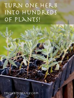 Make hundreds of plants from one (yes, you sure can)
