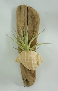 Air Plant in a Shell on Driftwood by ginamariep on Etsy Air Plant in einer Muschel auf Treibholz by ginamariep on Etsy Tillandsia Seashell Projects, Driftwood Projects, Seashell Crafts, Beach Crafts, Driftwood Art, Home Crafts, Etsy Crafts, Air Plant Display, Plant Decor