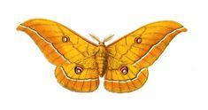 Le #Bombyx du chêne ou Minime à bandes jaunes est une espèce de #lépidoptères vivant dans les zones boisées ou en friche que l on retrouve de partout en Europe et jusqu'en Russie #numelyo #bestiaire #volatile #papillon