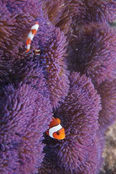 """clownfish in anemone in   Justyn's """"IN YOUR STYLE"""" ~ UNDER THE SEA (OCTOPUS) CHALLENGE drawing / under the sea"""