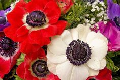 Buy winter plants at best place with best price. Buy winter plants at best place with best price. Bulb Flowers, Flowers Online, Flowers, Anemone, Buy Plants, Flower Seeds, Winter Plants, Plants, Plants Online