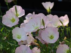 Oenothera berlandieri --stabilize the hill leading up to the prickly pear