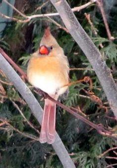 Birds (female cardinal from my backyard)