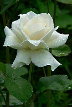 White romance favorite roses pinterest white roses beautiful natureza love flowers white flowers white roses amazing flowers beautiful roses mightylinksfo