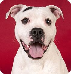 Chicago, IL - Boxer/American Bulldog Mix. Meet Charley, a dog for adoption. http://www.adoptapet.com/pet/12999437-chicago-illinois-boxer-mix