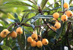 Many of us will remember eating Loquats from a tree in the garden as children.  What we may not know is that the Eriobotrya japonica has been declared a Category 3 NEMBA invasive species and as such may not be propagated, planted or sold since 2001.  Native to South eastern China, the Loquat was introduced to Loquat Tree, Peach Trees, New Growth, Fruit Trees, Love Flowers, Home And Garden, Tropical, Plants, Proverbs