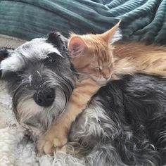 See this Instagram photo by @pudge_the_schnauzer • 271 likes