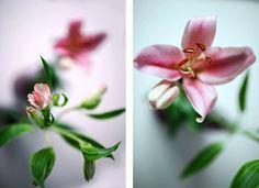 Flores Lilium Lily flowers