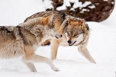 Playtime Is Over - There are some 30  facilities in the USA trying to help secure the Mexican Grey Wolves future. There are an estimated 300 Mexican Wolves in captivity and only 50 in the wild. The Mexican Wolf was re-introduced in the wild in the 1990's with some 60 wolves. Some twenty years later there are only 50 trying to make a go of it. - © Scott Denny 2012