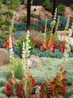 Kalanchoe luciae (Paddle Plant), Agave, Senecio serpens (Blue Chalksticks) bronze Carex buchananii, Cerastium tomentosum,