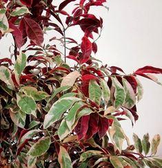 Tanaman Sambang Darah (Chinese Croton)